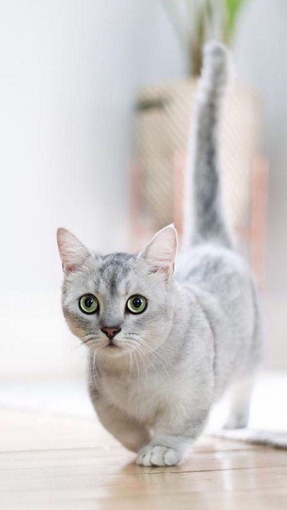Красивые Манчкин кошки с маленькими лапками - обои, картинки 1