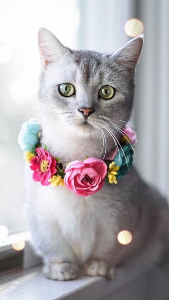 Красивые Манчкин кошки с маленькими лапками - обои, картинки 11