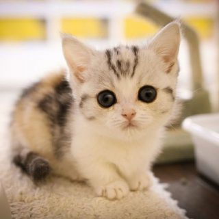 Красивые Манчкин кошки с маленькими лапками - обои, картинки 12