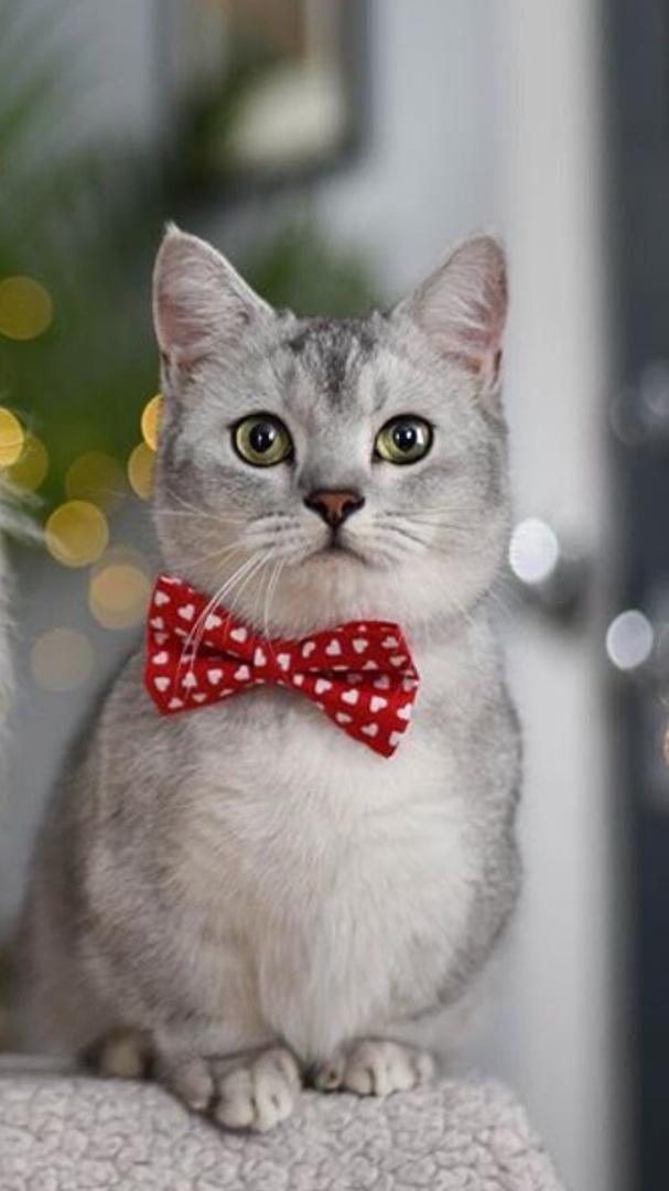 Красивые Манчкин кошки с маленькими лапками - обои, картинки 15