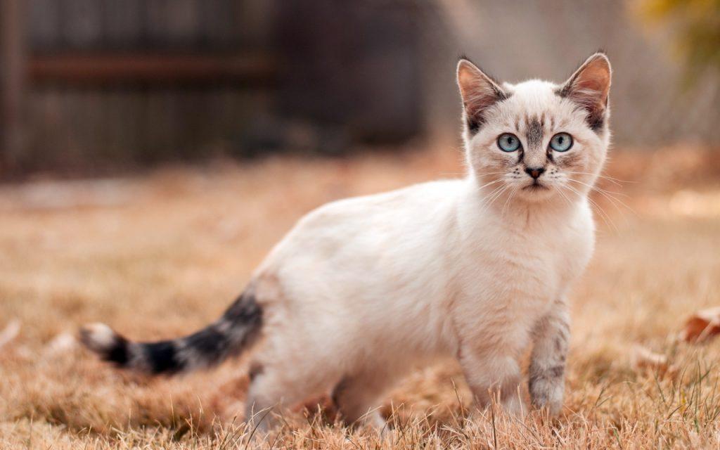 Красивые Манчкин кошки с маленькими лапками - обои, картинки 5