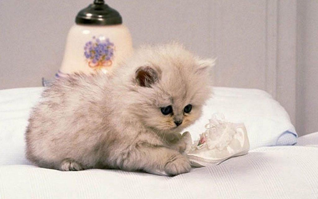 Красивые Манчкин кошки с маленькими лапками - обои, картинки 7