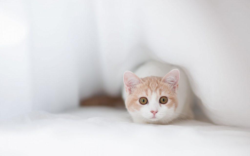 Красивые Манчкин кошки с маленькими лапками - обои, картинки 8