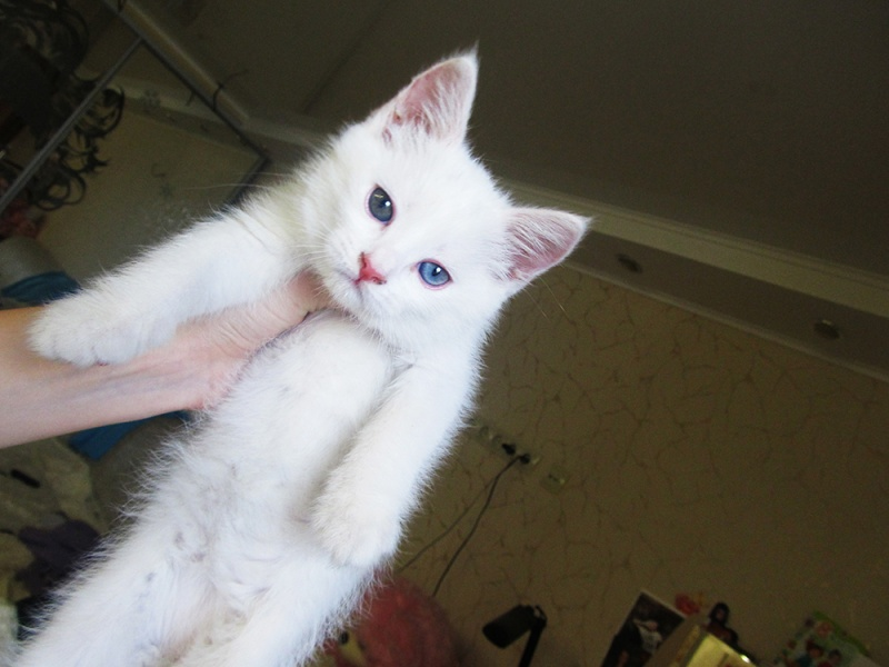Красивые и невероятные кошки, котики Као мани - картинки, фото 1