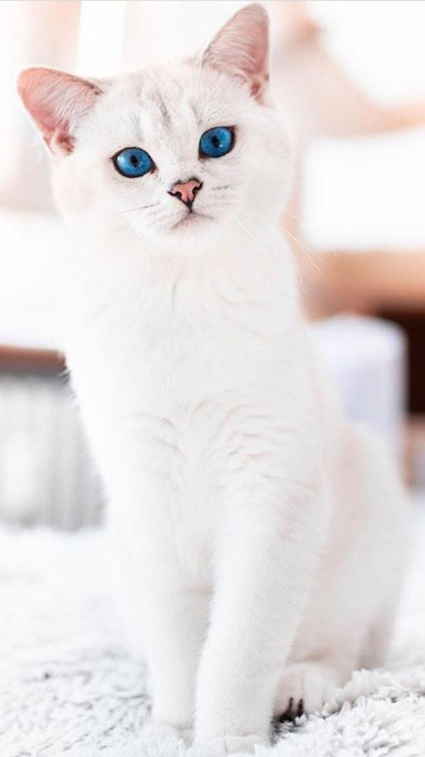 Красивые и невероятные кошки, котики Као мани - картинки, фото 10