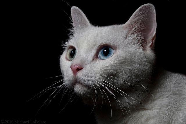 Красивые и невероятные кошки, котики Као мани - картинки, фото 11