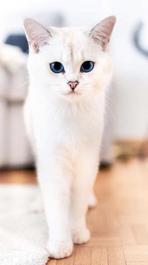 Красивые и невероятные кошки, котики Као мани - картинки, фото 12