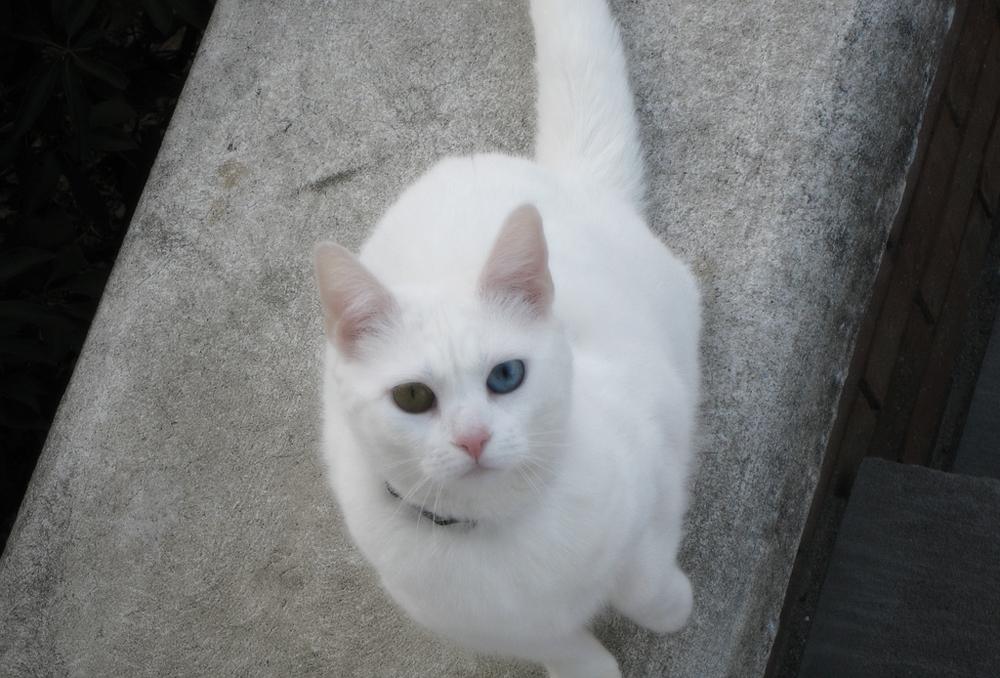 Красивые и невероятные кошки, котики Као мани - картинки, фото 2