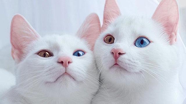 Красивые и невероятные кошки, котики Као мани - картинки, фото 3