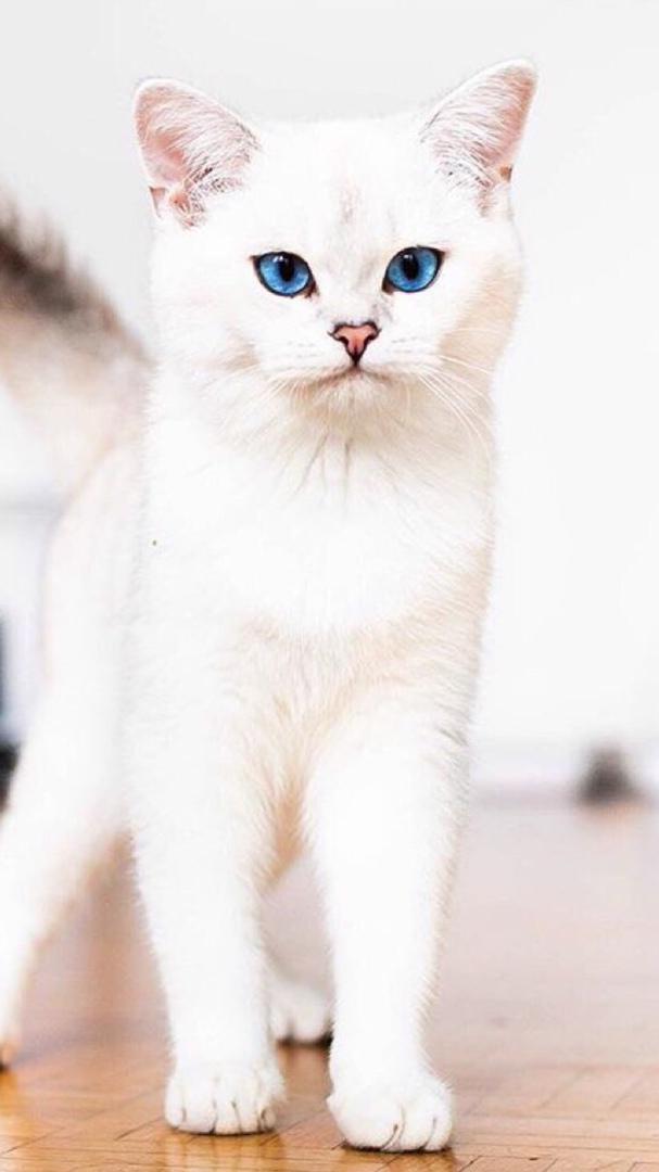 Красивые и невероятные кошки, котики Као мани - картинки, фото 6