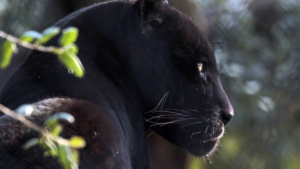 Красивые обои на рабочий стол Пантера - необычные фото животного 10