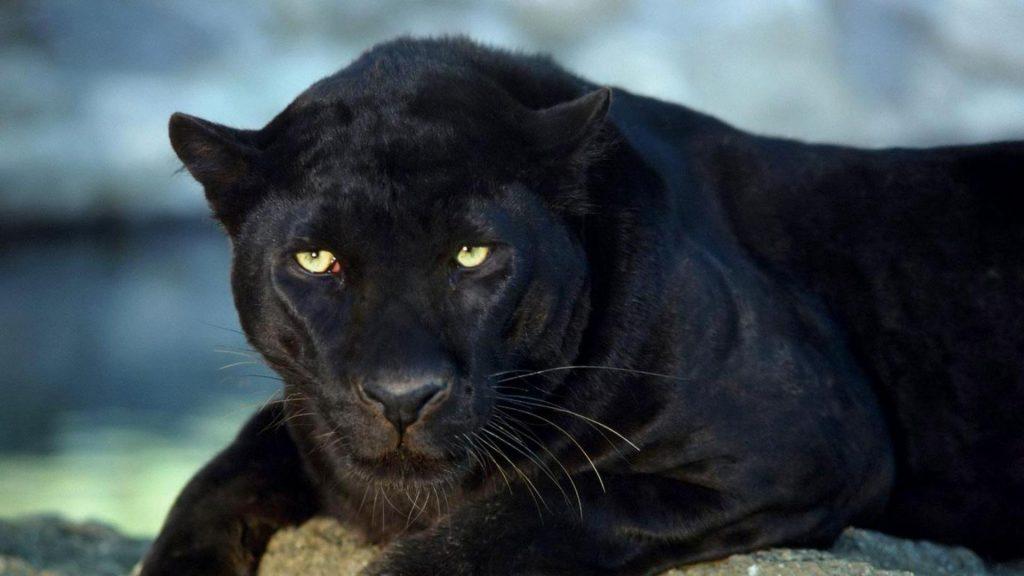 Красивые обои на рабочий стол Пантера - необычные фото животного 15