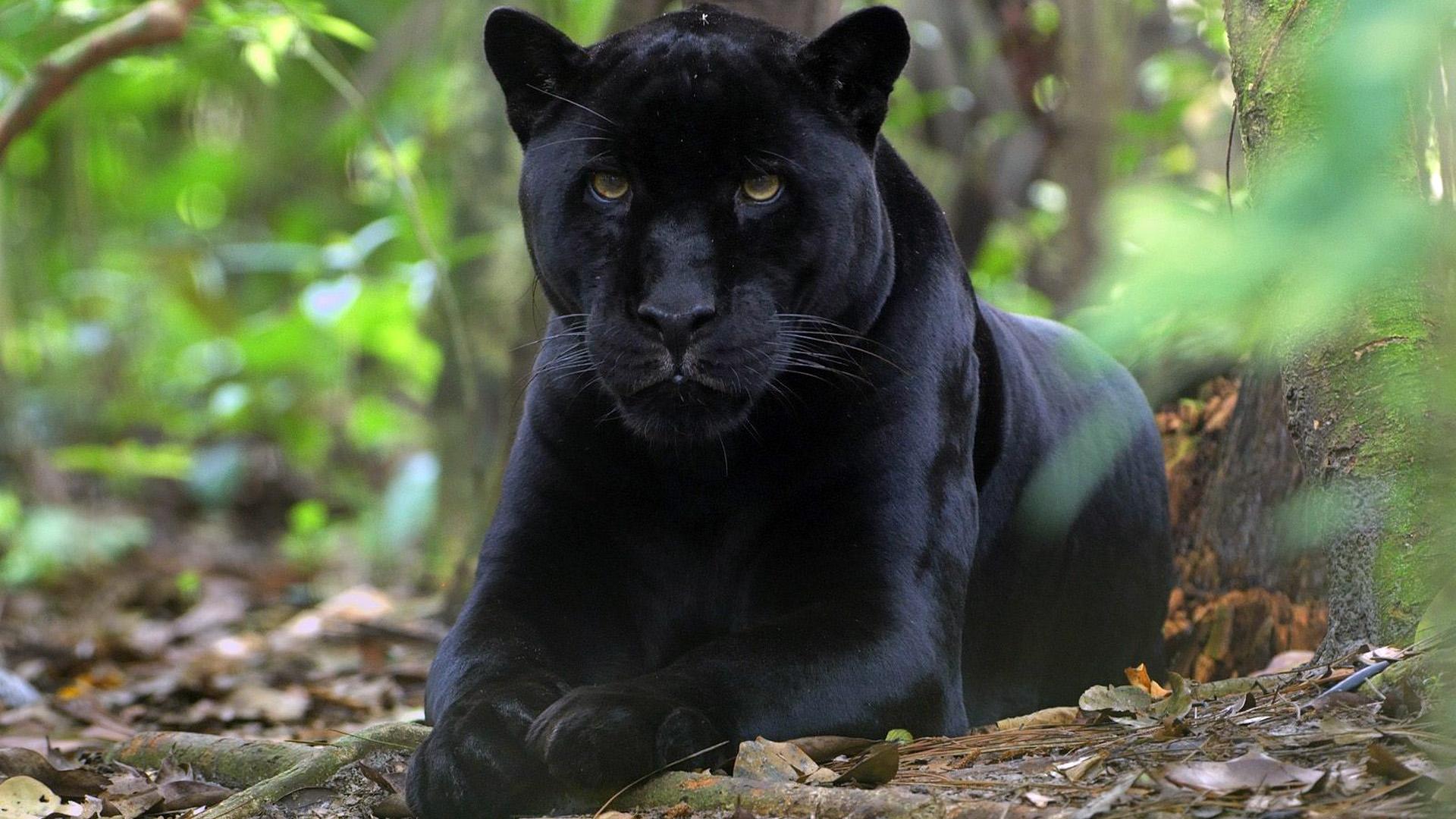 Красивые обои на рабочий стол Пантера - необычные фото животного 2