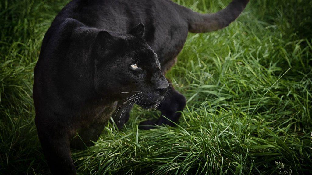 Красивые обои на рабочий стол Пантера - необычные фото животного 3