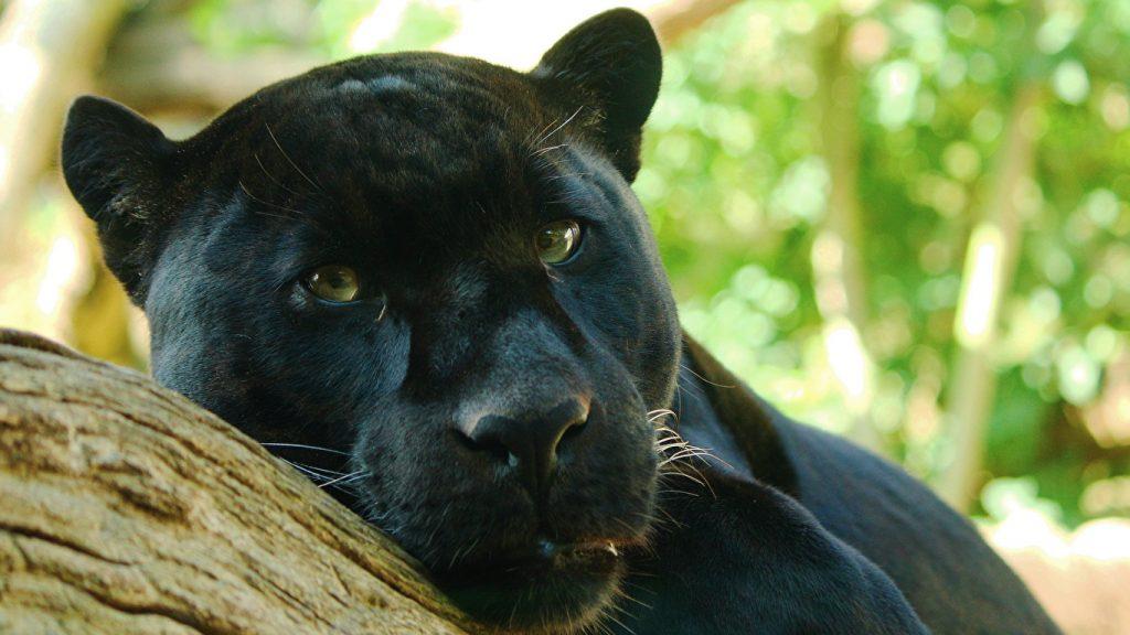 Красивые обои на рабочий стол Пантера - необычные фото животного 5