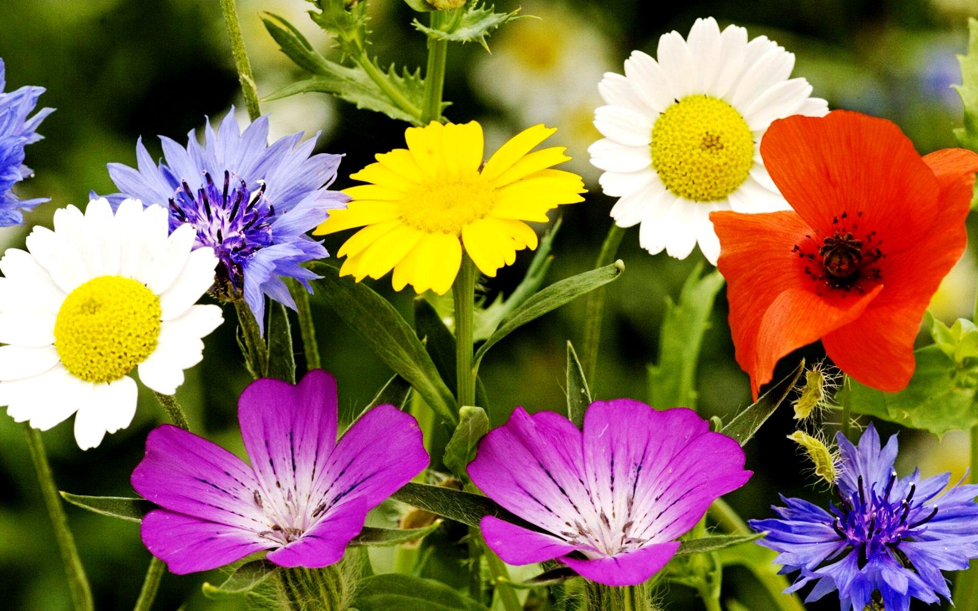 Красивые полевые цветы - удивительные картинки и фотографии 14