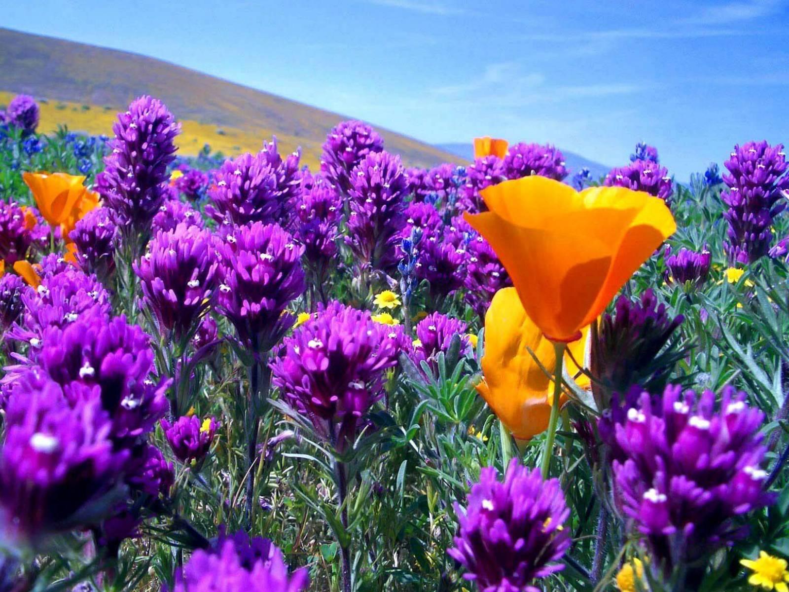 Красивые полевые цветы - удивительные картинки и фотографии 3