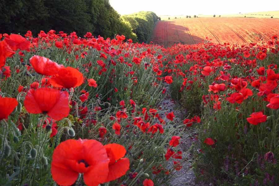 Поле цветов картинки и фотографии - самые красивые и удивительные 16