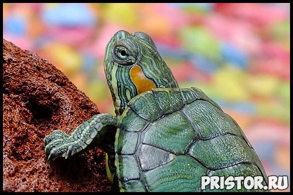 Правила содержания морской черепахи. Как ухаживать за морской черепахой 1