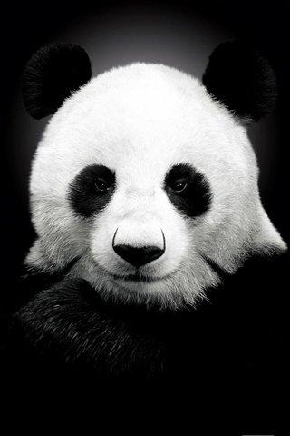 Прикольные и необычные картинки Панда на заставку телефона 10