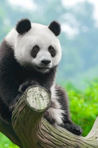 Прикольные и необычные картинки Панда на заставку телефона 13