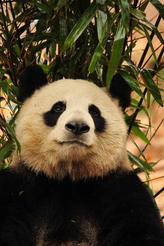 Прикольные и необычные картинки Панда на заставку телефона 14