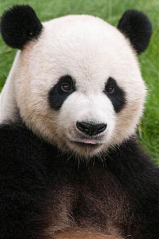 Прикольные и необычные картинки Панда на заставку телефона 15