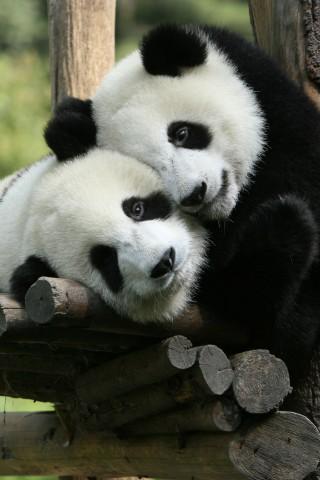 Прикольные и необычные картинки Панда на заставку телефона 2