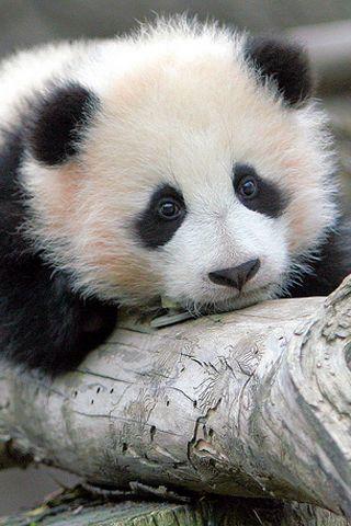 Прикольные и необычные картинки Панда на заставку телефона 7