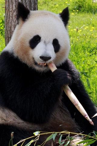 Прикольные и необычные картинки Панда на заставку телефона 8
