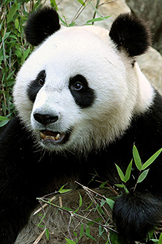 Прикольные и необычные картинки Панда на заставку телефона 9
