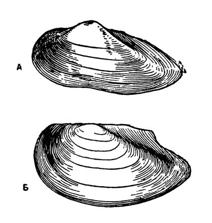 Раковины перловицы (А) ибеззубки (Б)