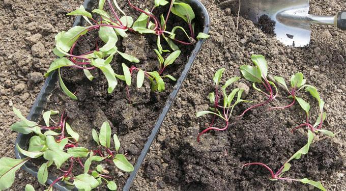 Когда сеять свеклу в открытый грунт Выращивание свеклы в открытом грунте 1
