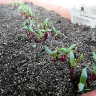Когда сеять свеклу в открытый грунт Выращивание свеклы в открытом грунте 2