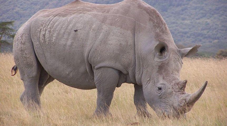 Красивые и прикольные картинки белого носорога - подборка 10