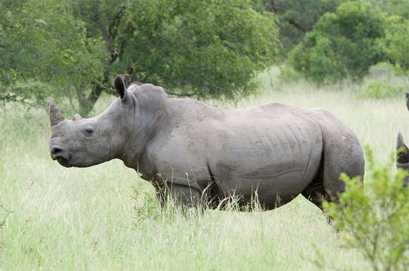 Красивые и прикольные картинки белого носорога - подборка 3