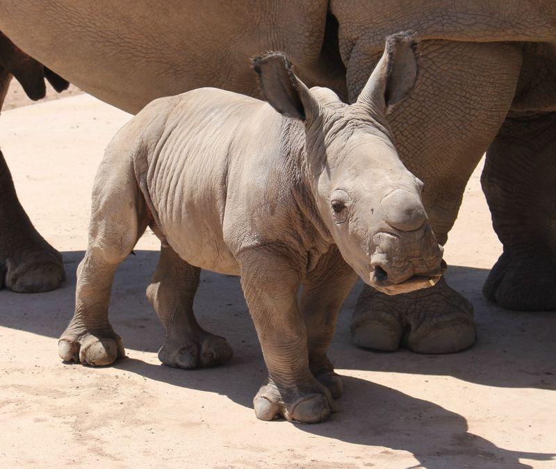 Красивые и прикольные картинки белого носорога - подборка 6