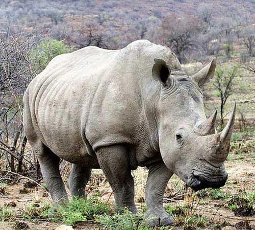 Красивые и прикольные картинки белого носорога - подборка 7