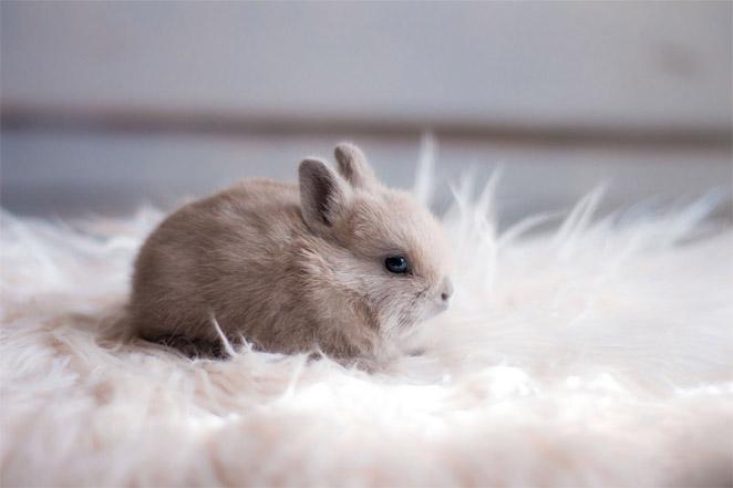 Содержание декоративных кроликов в домашних условиях 2