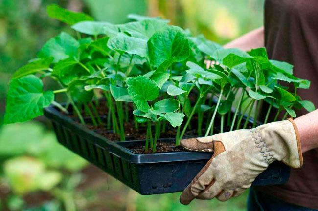 Как вырастить богатый урожай кабачков. Практические советы садоводов 2