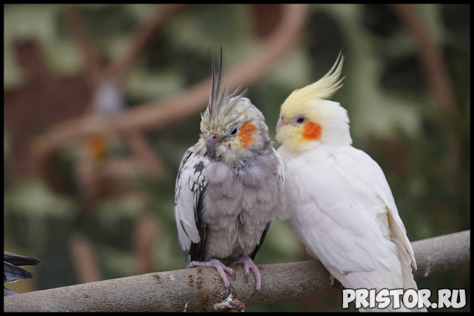 Как самому подрезать клюв и когти попугаю в домашних условиях 1