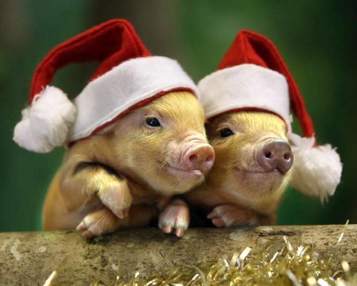 Красивые и прикольные картинки на тему Новогодняя свинья - сборка 10