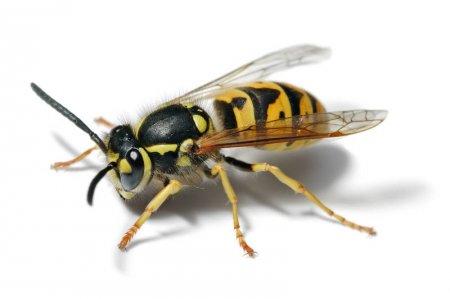 Красивые и прикольные картинки, рисунки осы для детей 8