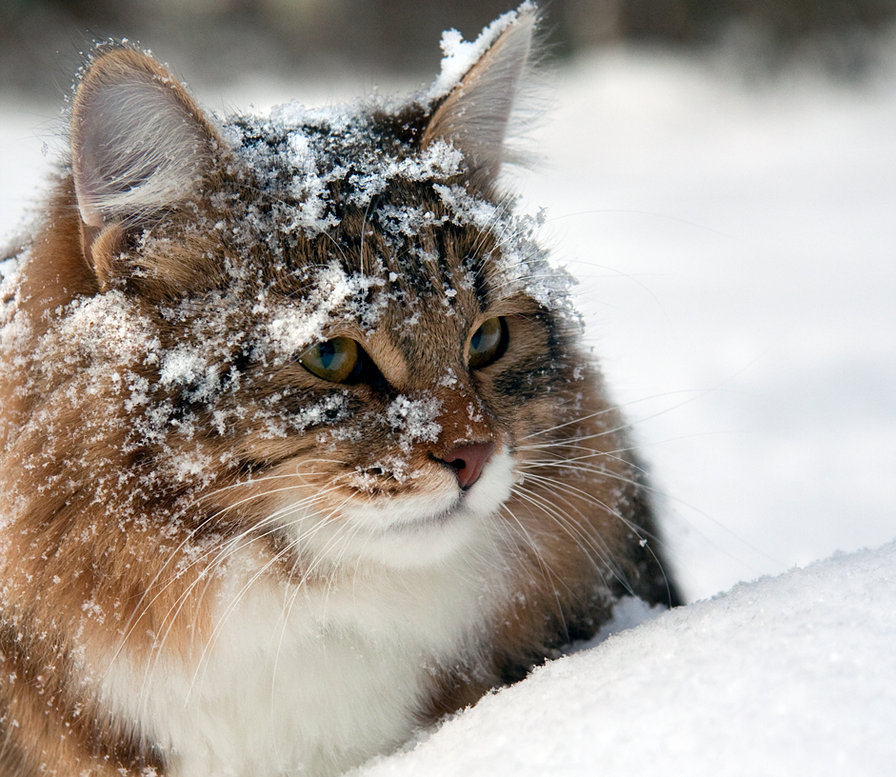 Красивые картинки котиков и кошек зимой в снег и Новый год 20