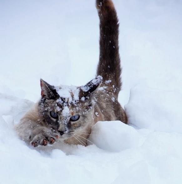 Красивые картинки котиков и кошек зимой в снег и Новый год 5