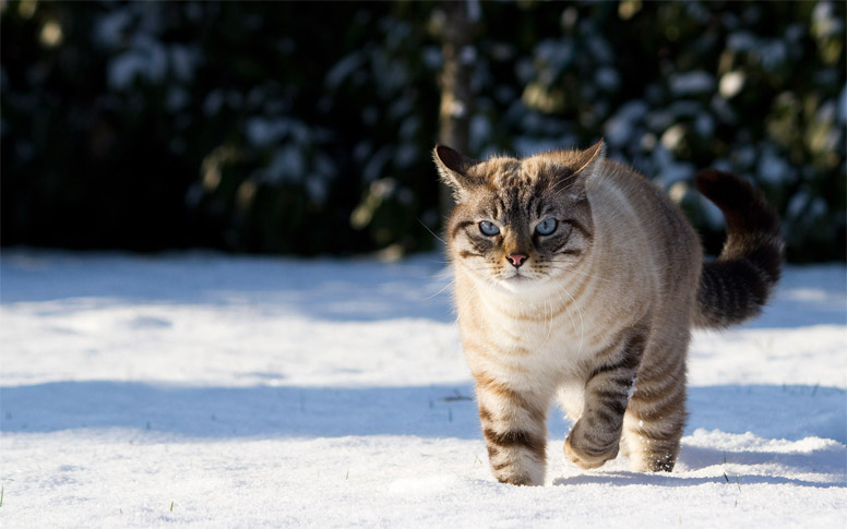 Красивые картинки котиков и кошек зимой в снег и Новый год 6