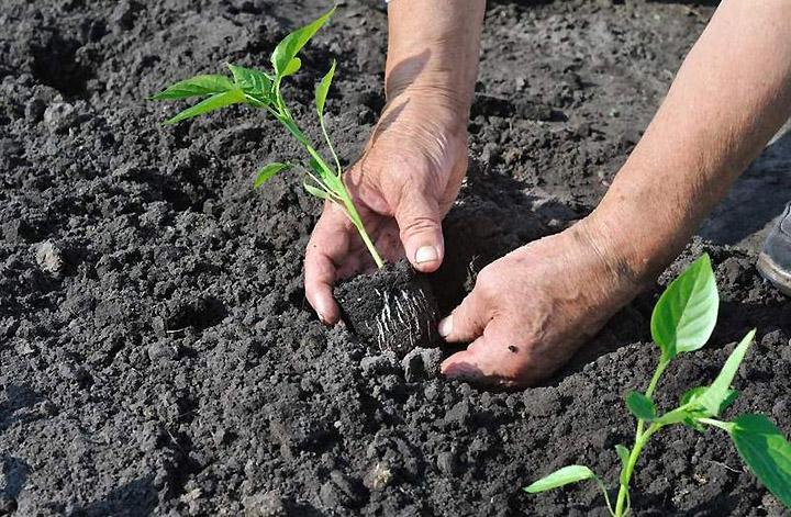 Можно ли высаживать болгарский перец сразу семенем в грунт 2