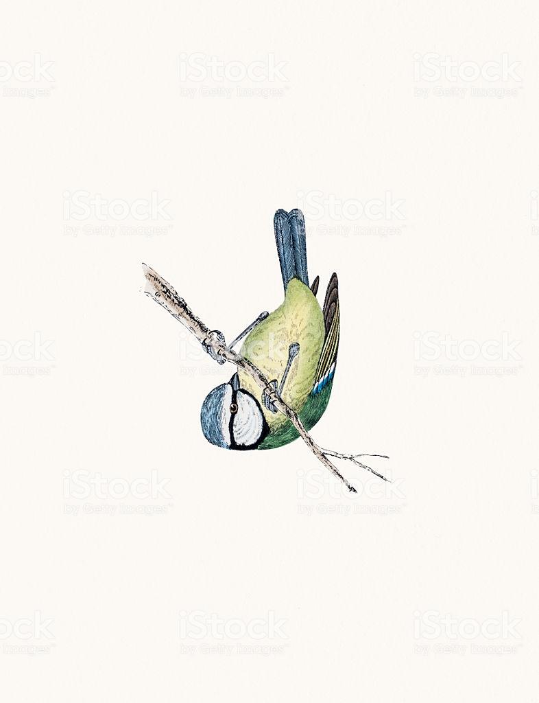 Красивые и интересные рисунки, фото, картинки Синицы - подборка 11