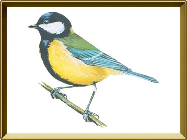 Красивые и интересные рисунки, фото, картинки Синицы - подборка 16
