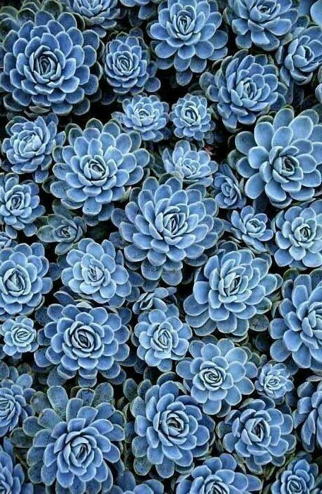 Красивые фото Каменной розы - подборка 20 картинок 18